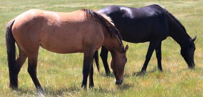 spanish mustang horses